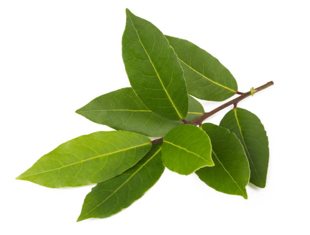 Laurel (Laurus nobilis) stock photo