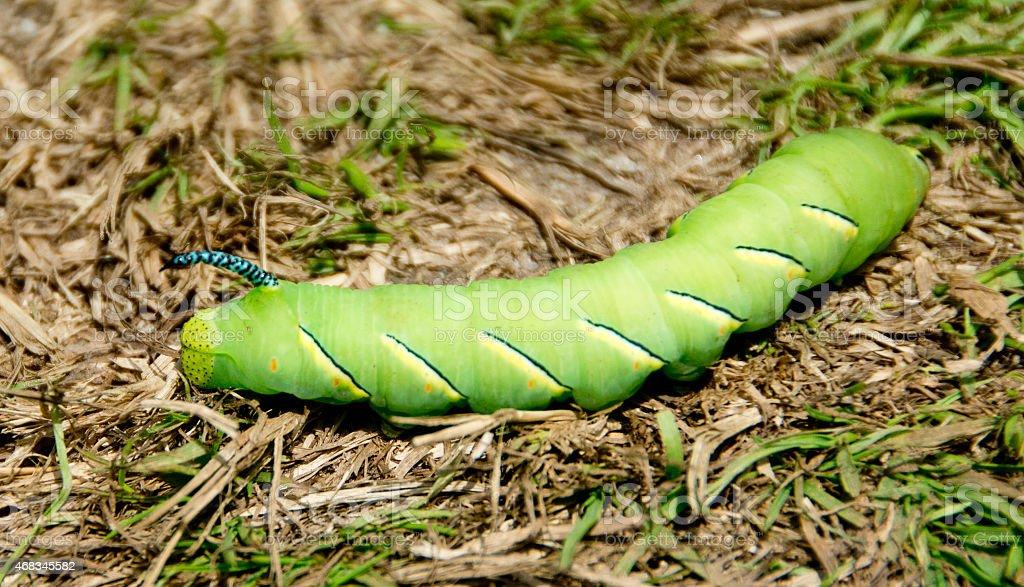 Laurel sphinx caterpillar royalty-free stock photo