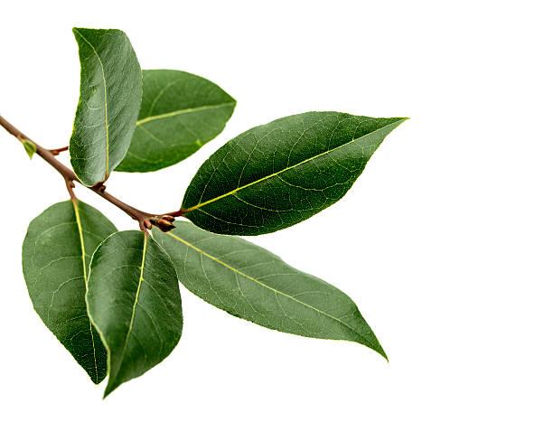 Laurel Baum Bay Blätter auf Weiß – Foto