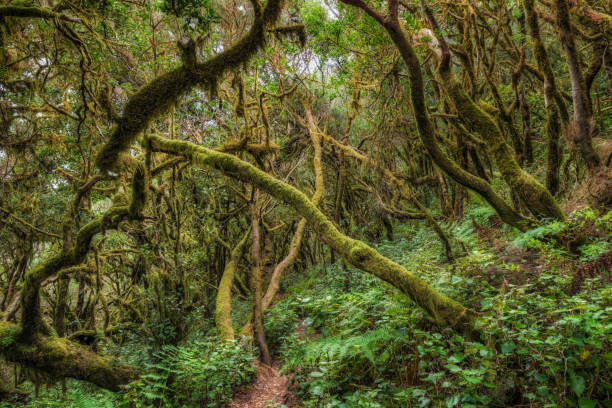 Laurisilva / Fog forest in Garajonay National Park in La Gomera / Spain stock photo