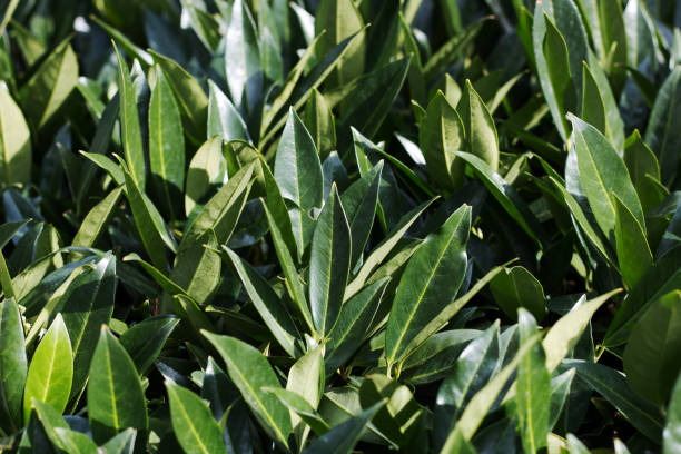 Laurus nobilis, bay leaves in the sun stock photo