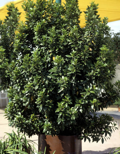 Laurus nobilis; Laurel stock photo