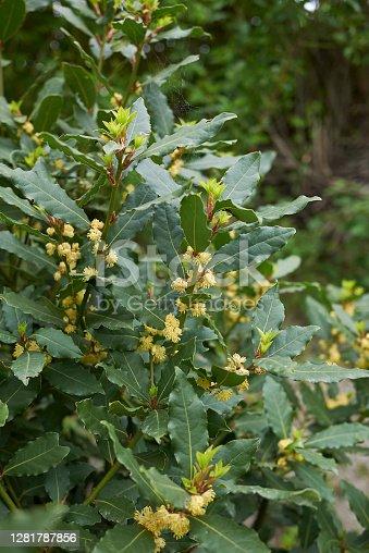 Laurus nobilis in bloom