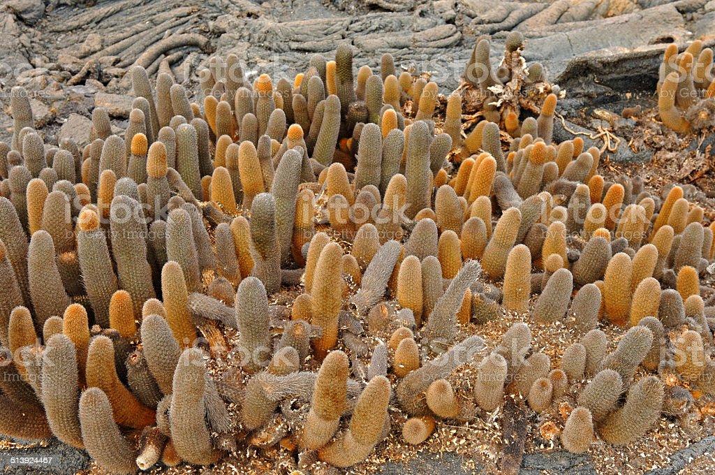 Lava cactus, Galapagos Islands, Ecuador stock photo
