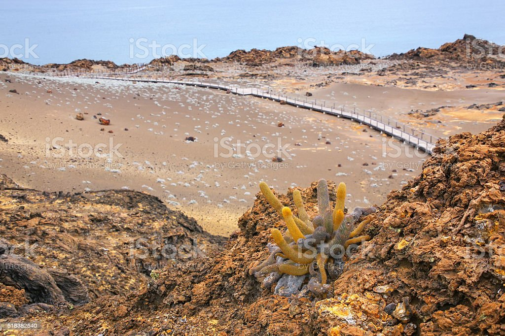 Lava cactus growing on Bartolome island in Galapagos National Pa stock photo