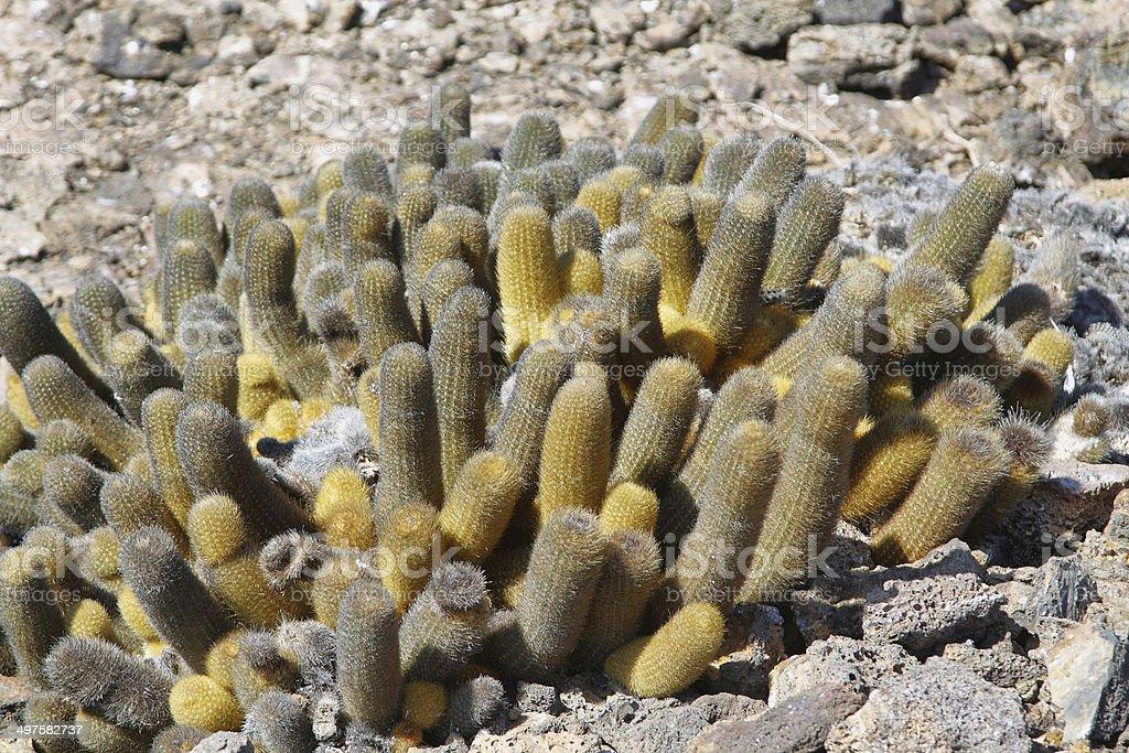 Lava cactus in Genovesa island stock photo