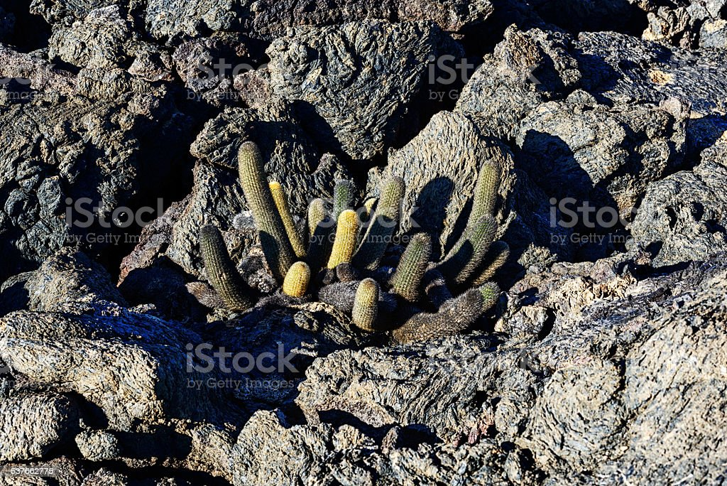 Lava Cactus in the Galapagos Islands stock photo