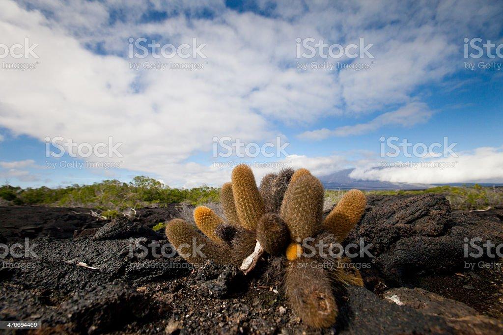 Lava Cactus stock photo