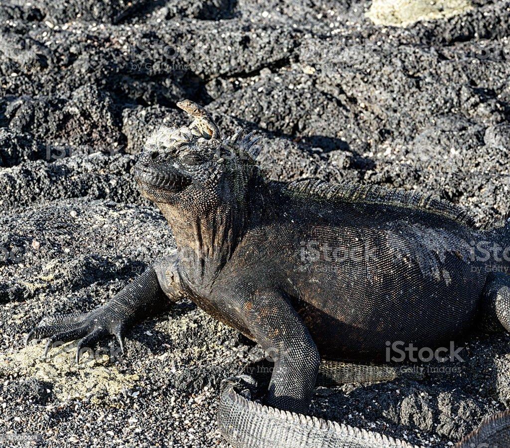 Lava Lizard On Top Of Marine Iguana Galapagos Islands Stock Photo ...