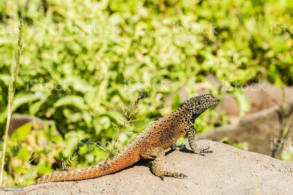 Lava Lizard stock photo