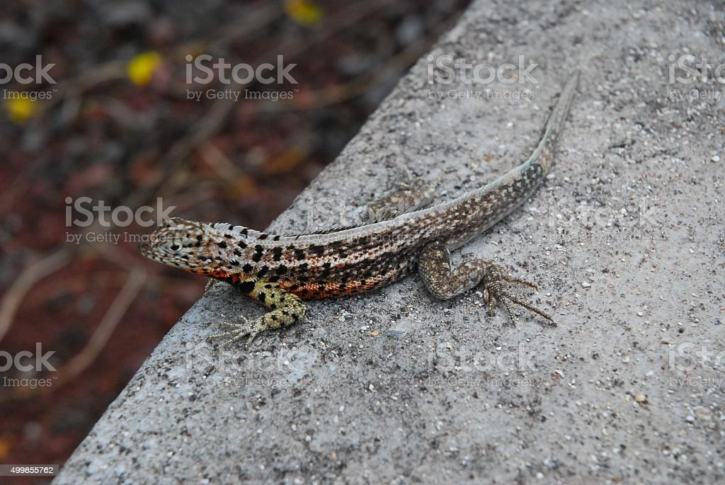 Lava Lizard sitting on a rock royalty-free stock photo
