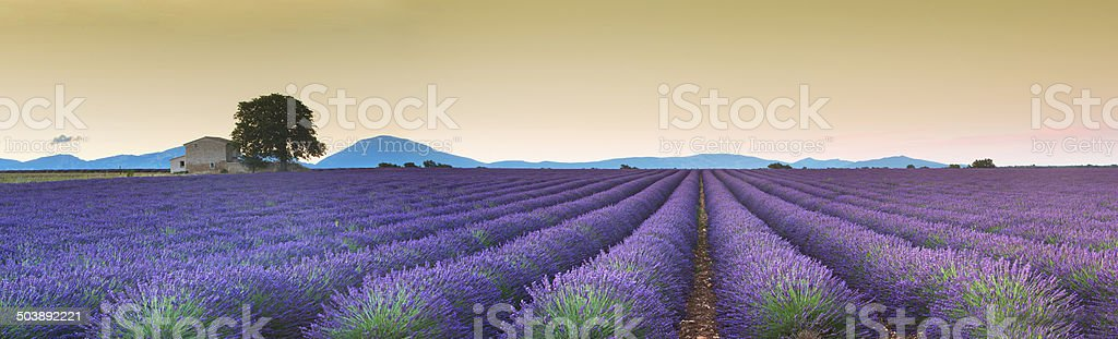 Lavanda fields sunrise stock photo
