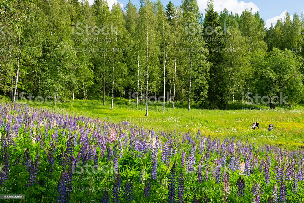 Lavander blooming in field near Kuopio, Finland royalty-free stock photo