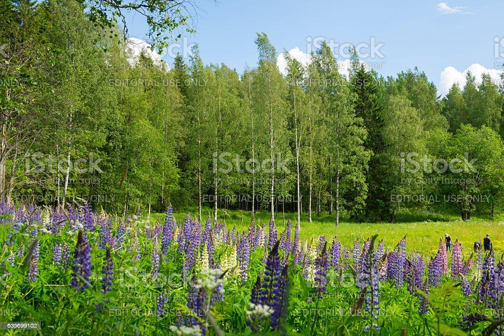 Lavander blooming in field near Kuopio, Finland royalty-free stock photo
