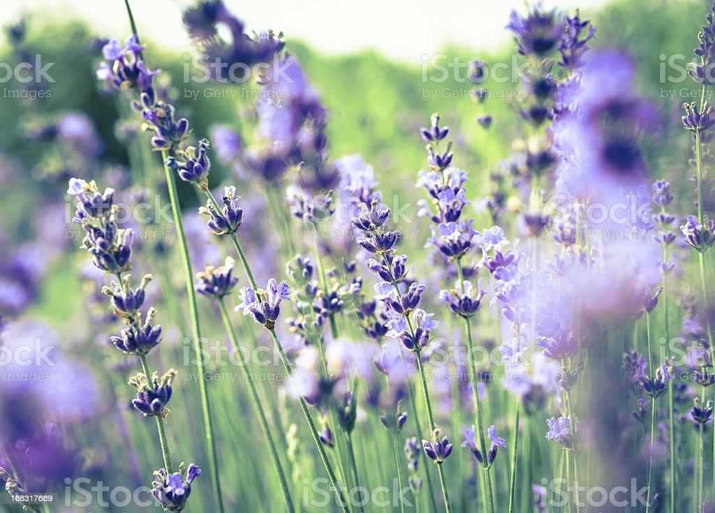 Lavander close-up royalty-free stock photo
