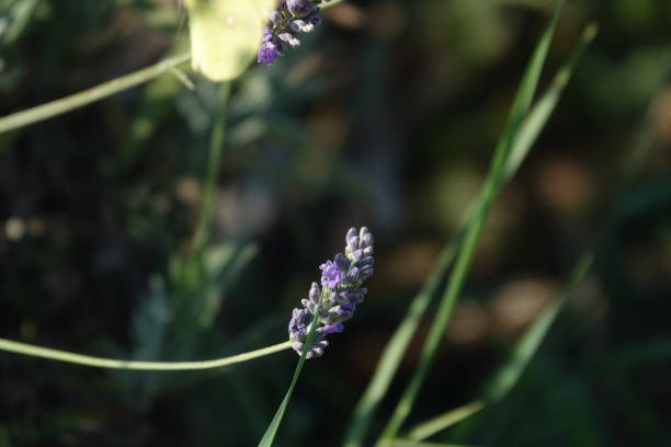 Lavander flowers and plants - foto stock