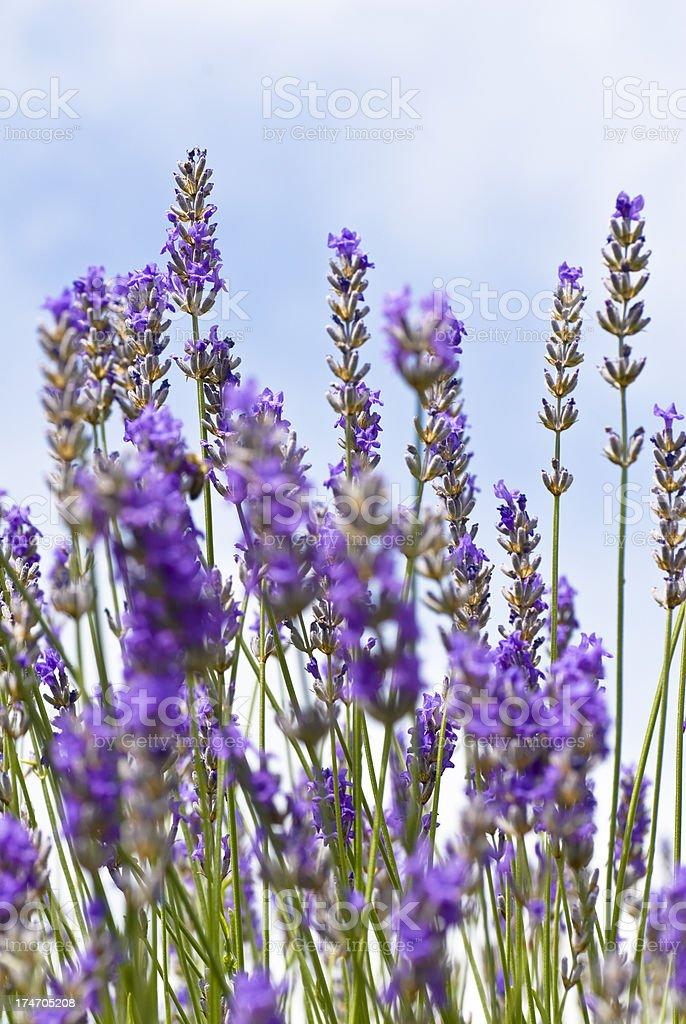 Lavander flowers royalty-free stock photo