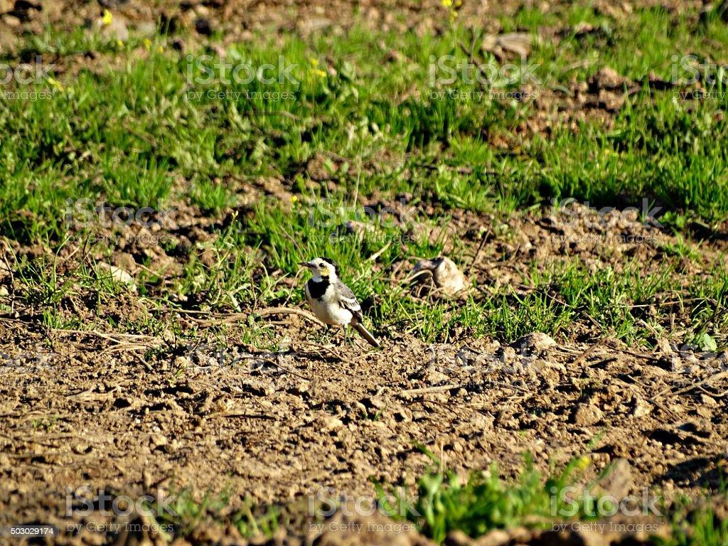 Lavandera blanca (Motacilla alba). stock photo