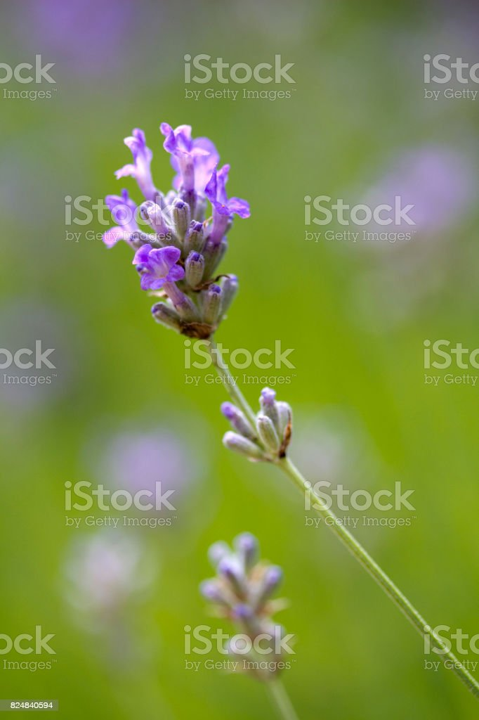 Lavandula angustifolia (Lavender) 'Ashdown Forest' stock photo