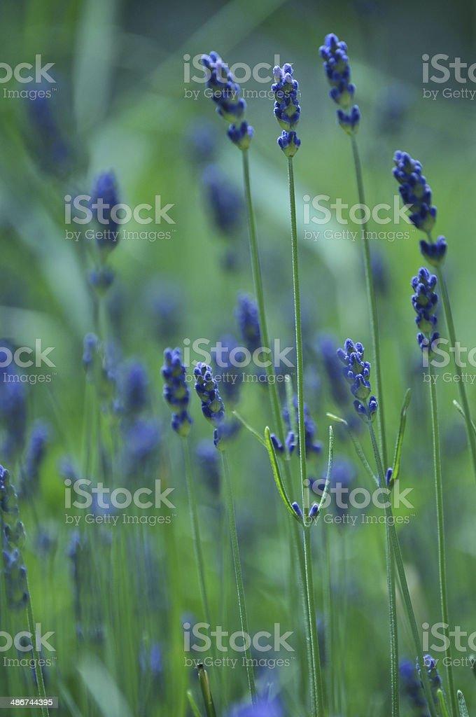 Lavandula officinalis, lavender stock photo