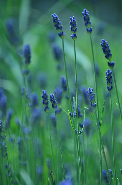 Lavandula officinalis, lavender stock photo
