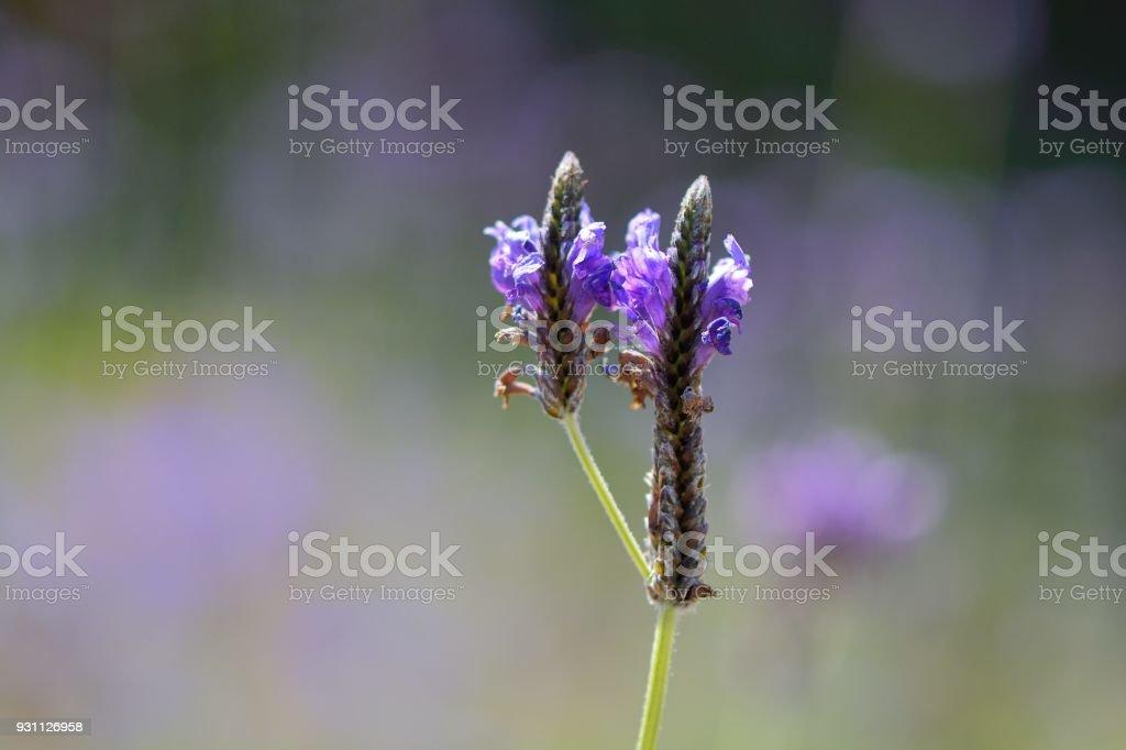 Lavandula veya lavanta - Royalty-free Ağaç Çiçeği Stok görsel