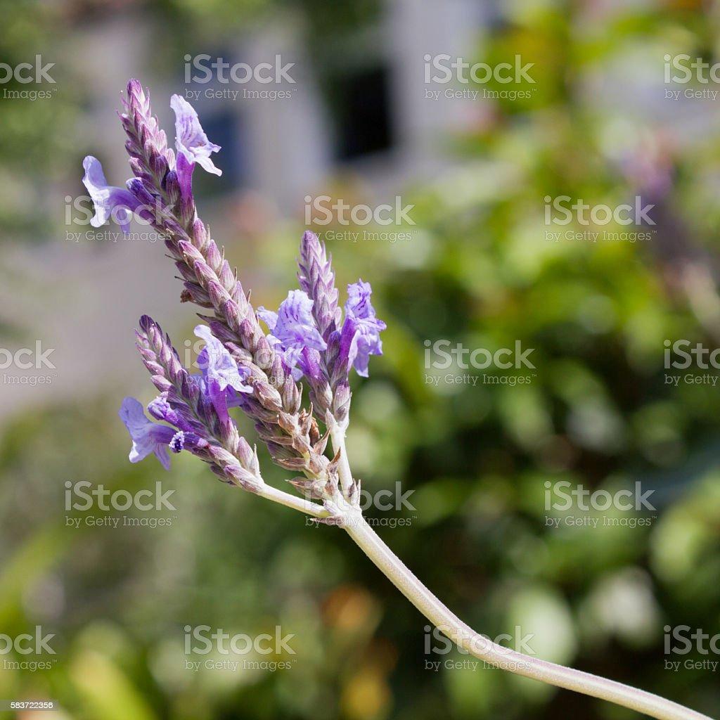 Lavandula pinnata in violet, close-up in a garden stock photo