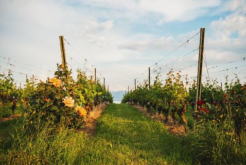 Lavaux vineyards at sunset, Switzerland