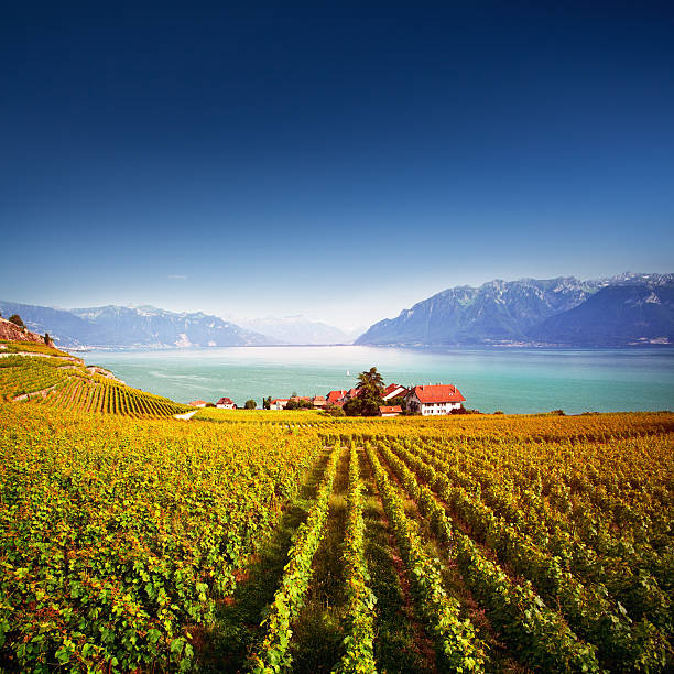 lavaux vineyards - lake geneva stock photos and pictures