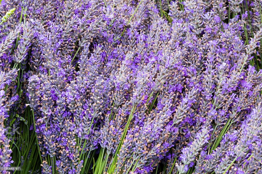 Lavendar flowers and stems in bunches stock photo