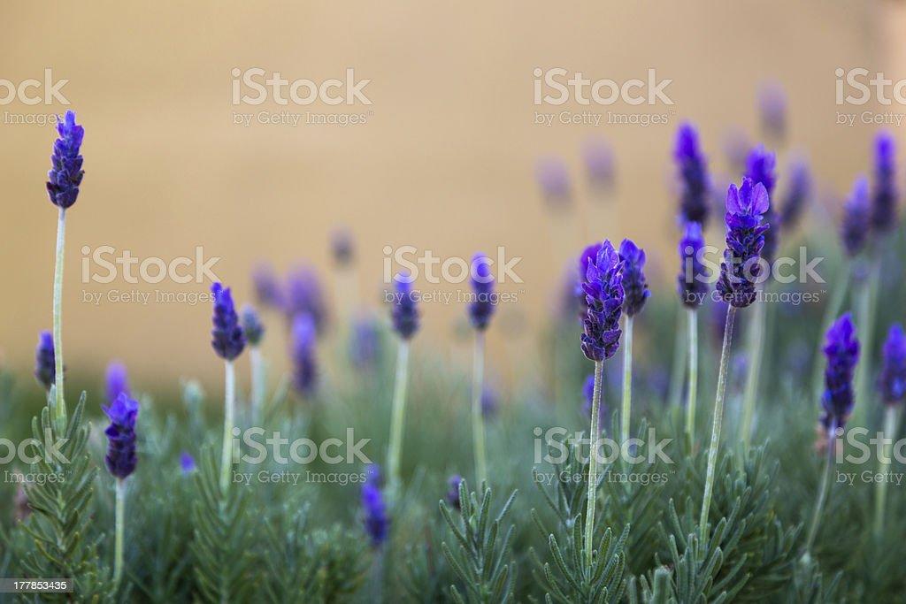 Lavendar Plants Against an Ocher Background stock photo