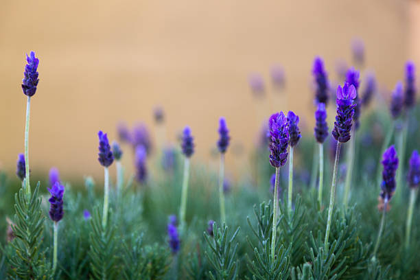 lavendar plants against an ocher background - carolinemaryan stock pictures, royalty-free photos & images