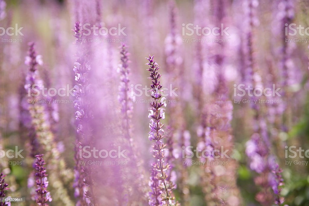 Lavendelfeld royalty-free stock photo
