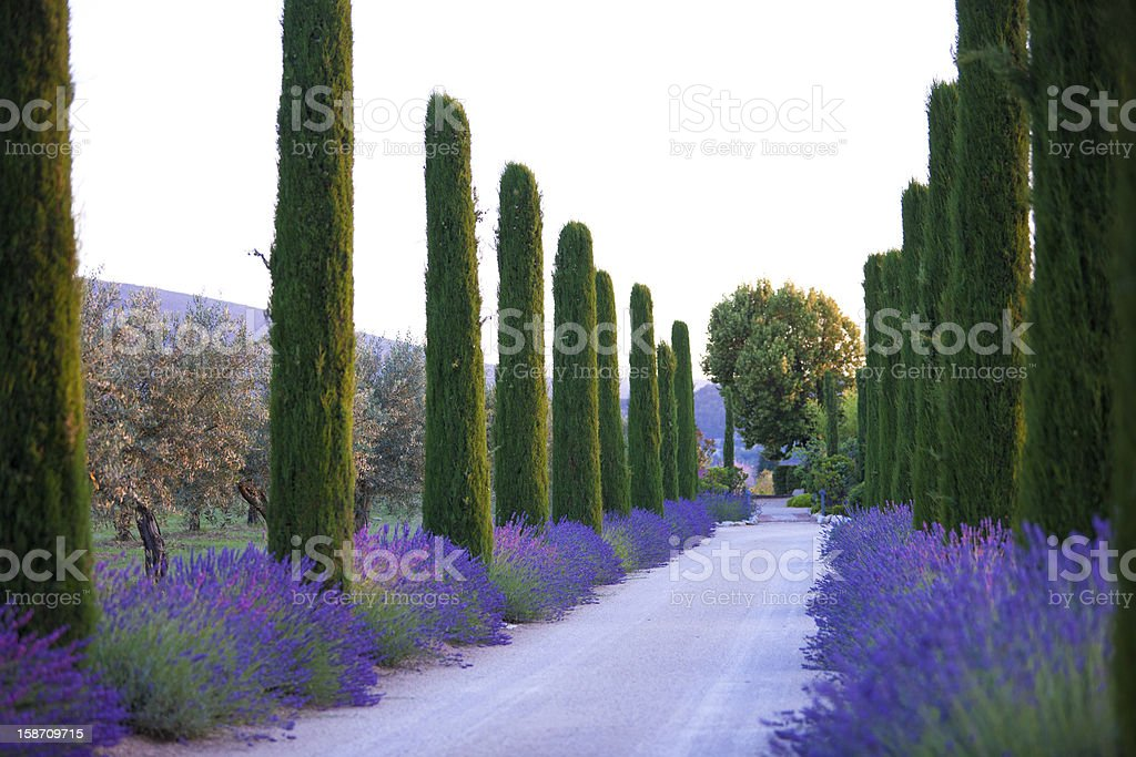 Lavender alley Lavender alley Agricultural Field Stock Photo