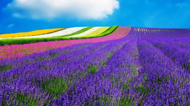 ラベンダーと別花北海道 - 自然の背景のフィールド - 北海道 ストックフォトと画像