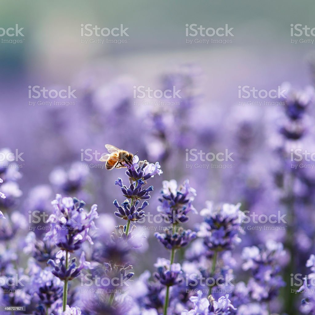 lavender and bee stock photo