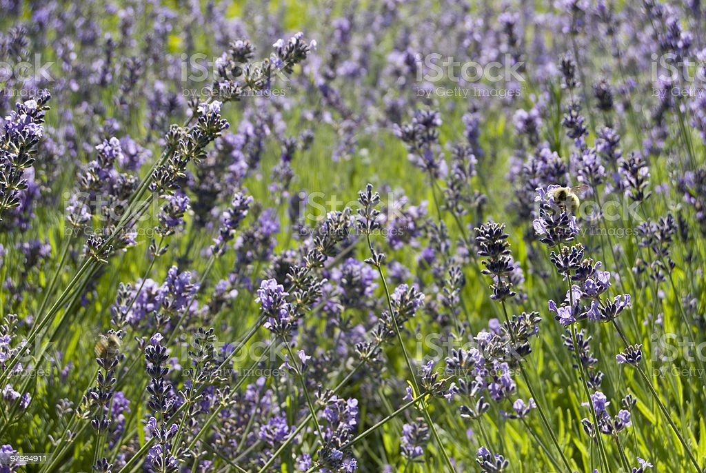Lavender And Bee royalty free stockfoto