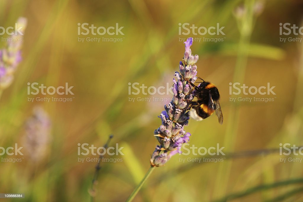 Lavender and bumblebee stock photo