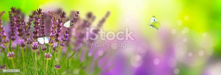 lavender and butterflies in sunshine panorama