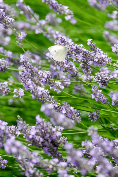 lavender and butterfly stock photo