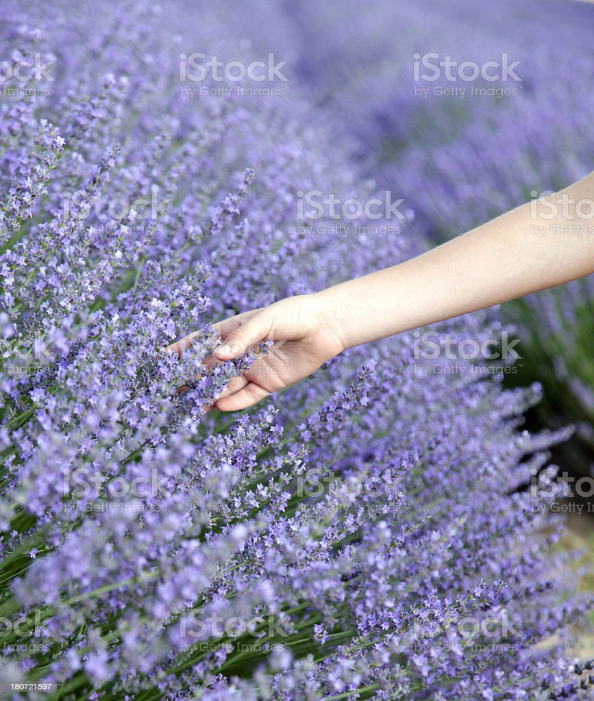 Lavender and child hand stock photo