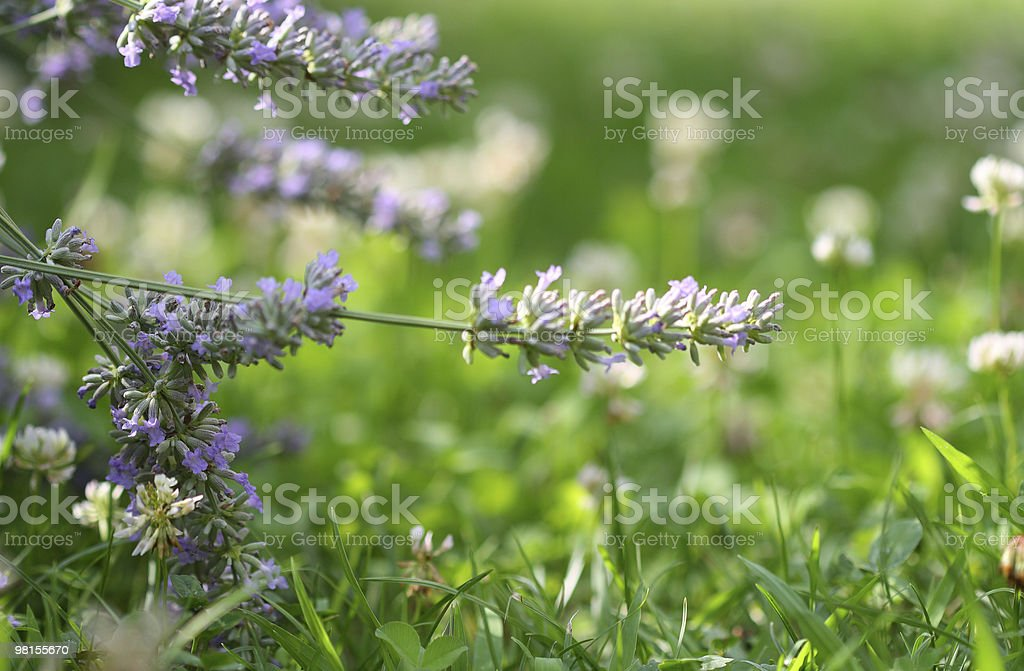 Lavender and clover royalty-free stock photo