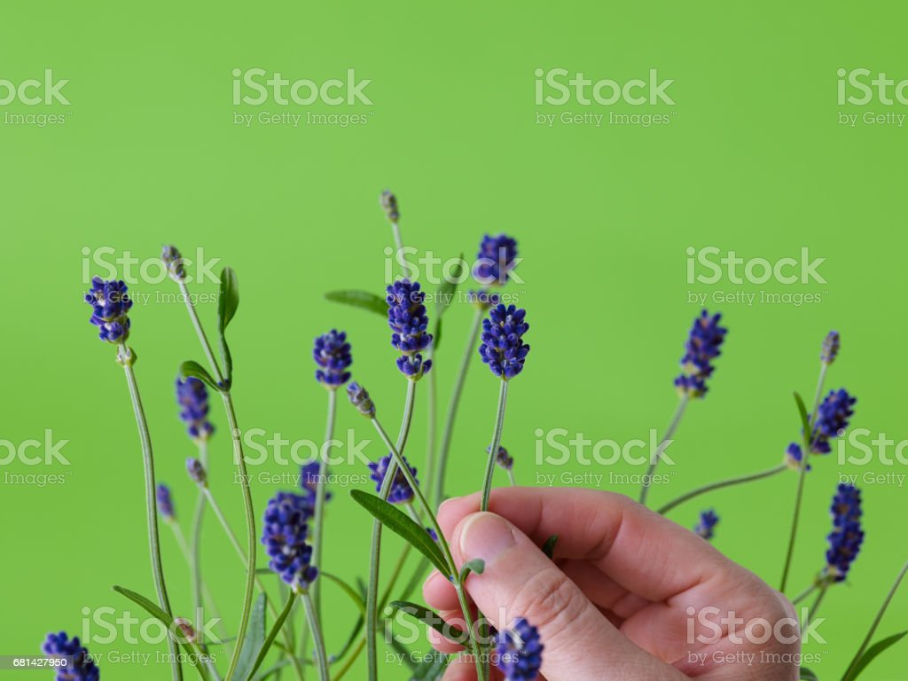 lavender and hand royalty-free stock photo