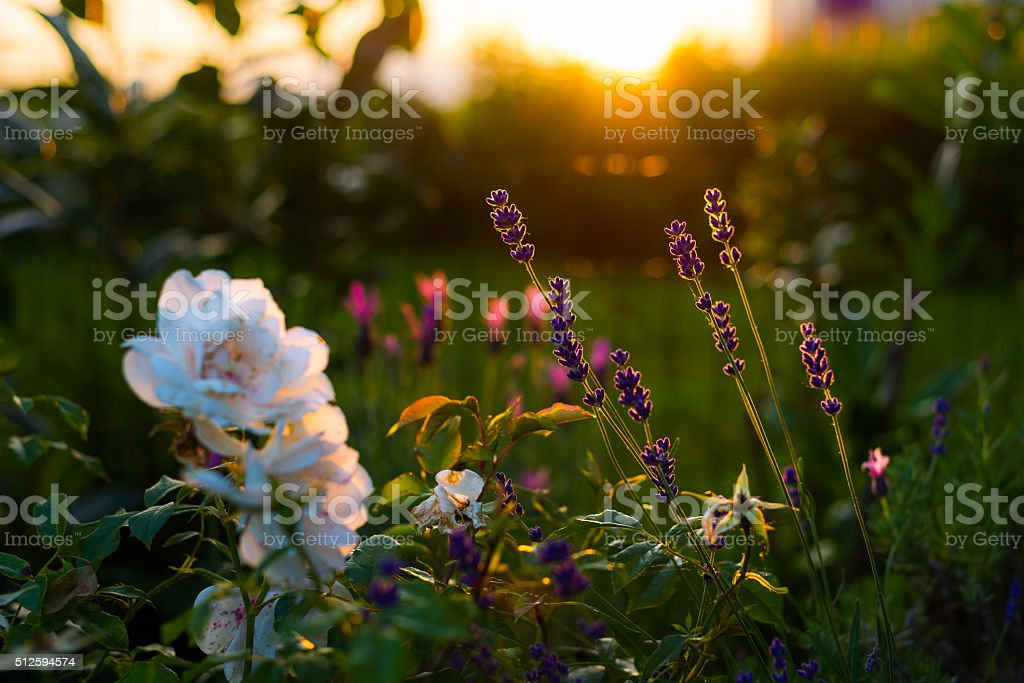 Lavender and rose flowers, home garden in backlight stock photo