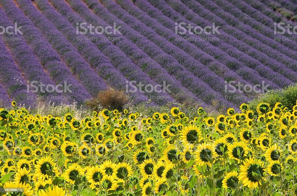 lavender and sunflowers - Royalty-free Agricultural Field Stock Photo