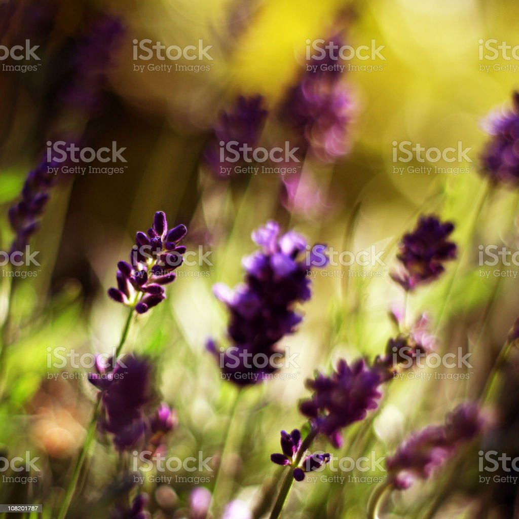 Lavender and Sunlight royalty-free stock photo