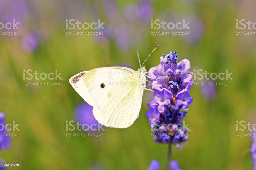 Lavanta ve beyaz kelebek - Royalty-free Ağaç Çiçeği Stok görsel