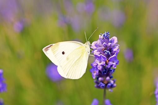 Lavanta Ve Beyaz Kelebek Stok Fotoğraflar & Ağaç Çiçeği'nin Daha Fazla Resimleri