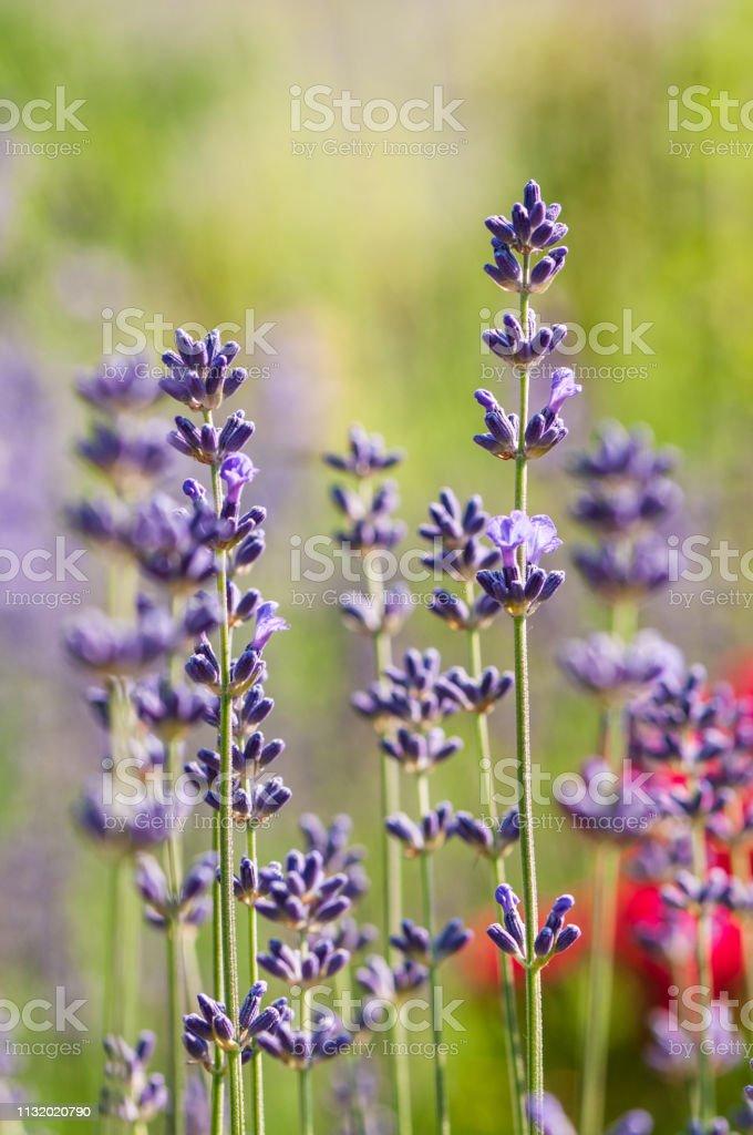 Lavender angustifolia, lavandula blossom in herb garden in morning...