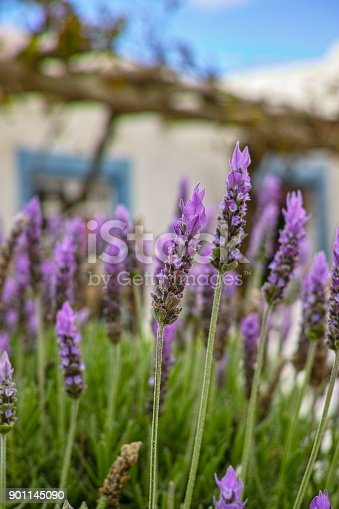 Lilac lavender aromatic flowers, cultivation of lavender plant used as health care, skin care, cosmetics, essential oils and extracts.